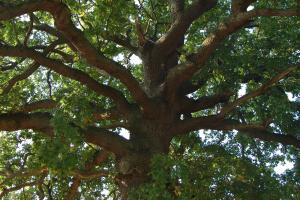 oak_tree__1569823363_